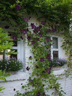 Clematis Vine, Purple Clematis, Climbing Clematis, White Clematis, Garden Cottage, Brick Cottage, Cottage Windows, Garden Bar, Cottage Gardens