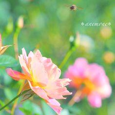 #薔薇#バラ#rose#flower#蜂
