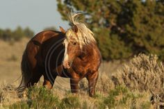 Palomino Butte Wild Horses M5545cs Prints, canvases, greeting cards and other items available on my website.  Even iPhone covers!