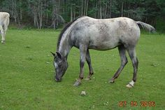 Willing, flashy, 4 year old, blue roan appaloosa.  Has been started under saddle, good with feet, health guaranteed.  Loves attention.  Handled from birth.  Ideal child's jumping prospect.  No vices.