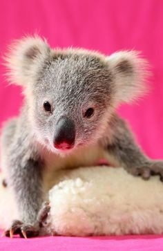 Cute koala joey Louise drops from her tree into a chicken coop during the storms | Daily Telegraph