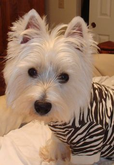 Just an adorable Westie in a striped sweater