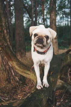 Wir kriegen oft die Frage, wie wir denn die Arbeit mit unseren Hunden kombinieren und wie wir um Alltag umsetzen, dass die Möpse nicht so lange alleine sein müssen. Hund │Hunde