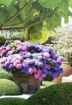 hydrangea plant in full bloom / hortensia Container Plants, Container Gardening, Hortensia Hydrangea, Hydrangea Plant, Purple Hydrangeas, Purple Flowers, Pot Jardin, Dream Garden, Garden Pots