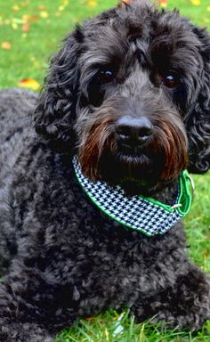 """designer dog duffy models houndstooth classic // black and white twill cotton houndstooth collar with green satin for that irish touch // martingale 2"""" wide"""