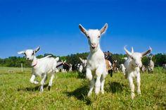 Cute goats like a babies!  http://www.germanfarm.com/  #Goats, #BabbyGoat, #Goat, #Sheep, #Sheeps, #SellGoats, #Animals