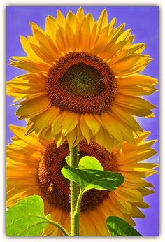 Sunflowers.... these are a few of my favorite thiiiings