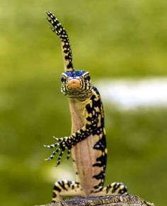A lizard showing off his dance moves is captured by Woe Hendrick Husin in Surabaya, Indonesia, on August 20, 2013. (Photo by Caters News)