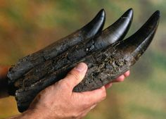Fossilised T-Rex teeth.