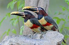 Tucano Araçaris-Brown - Brazil