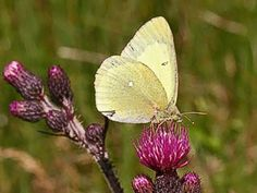 Suokeltaperhonen, Colias palaeno - Perhoset - LuontoPortti Finland Butterfly Pictures, Beautiful Butterflies, Finland, Mother Nature, Scenery, Plants, Hair, Animals, Inspiration