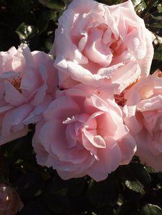 Klätterros 'New Dawn' Zon VI ?. wichuranaros, rosa som ljusnar till vita. Svag och söt doft. blommar rikligt och nästan oavbrutet från slutet av juni hösten. Rosen har ett mycket kraftigt och tätt växtsätt med högt bågböjda grenar när den odlas utan stöd. Odlad som buskros blir den 1,5 till 1,8 m hög och 1,5 till 2 m bred. Uppbunden som klätterros 3,5 till 4,5 m hög.