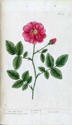 1737 v. 1 #1010 - A curious herbal
