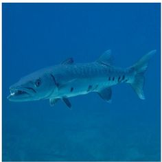 1000 images about san diego barracudas on pinterest san for Kates fish camp
