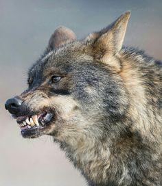 Angry Iberian Wolf