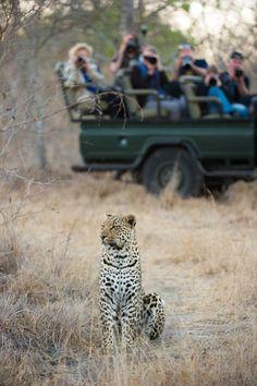 Leopard spotted in the Sabi Sands Game Reserve, Kruger National Park South Africa #VisitSouthAfrica