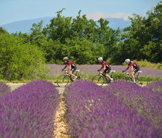 Riding in Provence amongst lavender fields