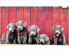 Silver Labrador Puppies   Logan UT