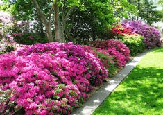 Encore Azaleas are easier to grow, cold-hardy, sun-loving, come in a variety of colors AND re-bloom spring to fall unlike traditional azaleas. Azaleas - Along the Woodline, the forever blooming ones aren't quite as bright - Adair Azaleas Landscaping, Full Sun Landscaping, Garden Shrubs, Flowering Shrubs, Front Yard Landscaping, Shade Garden, Lawn And Garden, Landscaping Ideas, Azalea Shrub