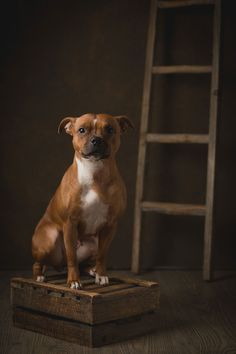 Fineart hundefoto av Staffordshire Bull Terrier. Fotografert i harmoniske bruntoner mot brun bakgrunn fra Gravity Backdrop Staffy Bull Terrier, Staffy Dog, Staffordshire Bull Terrier, Chihuahua Terrier, Teacup Chihuahua, Puppy Names, Family Dogs, Happy Dogs, Dogs And Puppies