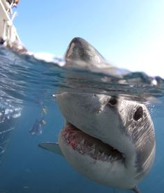 Great White Shark my dad loves these!!