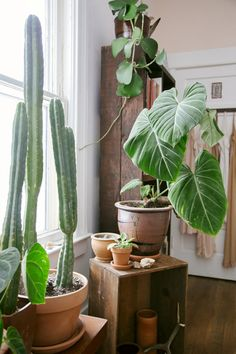 Whenever we need to fill a big space with some green, the Elephant Ear is one of the first leaves we turn to. The huge scale of these plants alone make them an easy choice for styling, but they're also a really stunning house plant. GET THE GREEN: Elephant Ear (Colocasia varieties) WATER: These...