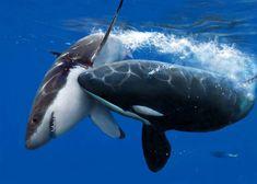 Sea panda beating up a sharks