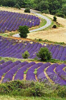 Lavender on countryside