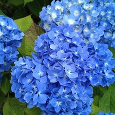 Imagine making a bracelet with the petals of these. Like a daisy chain, except with hydrangea petals.