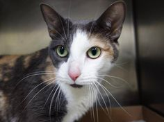 """TO BE KILLED 9/20/14@ NOON NYC ACC My name is SARA ID # A1013286.I'm a spayed female calico dsh mix, 7 YRS old. SWEET PAIR OF """"SISTERS"""" ABBY(A1013284) AND SARA BOTH WOULD LOVE TO BE RESCUED TOGETHER.Sara is feeling a little shy at the shelter, so she prefers to watch the action in the adoption room from under her blanket, but open her kennel door and she'll come right out to greet you! A perfect day for Sara includes rolling on her belly and basking in your attention."""
