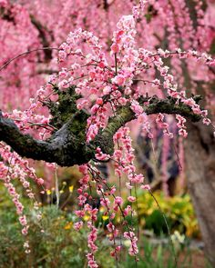 """""""It's a reminder that life is almost overwhelmingly beautiful but that it is also tragically short. Cherry Blooms, Cherry Flower, Sakura Wallpaper, Flower Wallpaper, Cherry Blossom Wallpaper Iphone, Flor Magnolia, Cherry Blossom Japan, Cherry Blossom Pictures, Beautiful Flowers Wallpapers"""