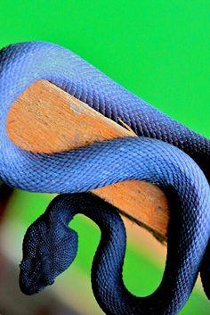 mangrove pit viper. venomous snake reptile