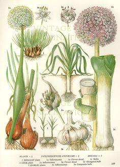 Vintage Botanical Print Antique LEEKS GARLIC by VintageInclination, $12.98