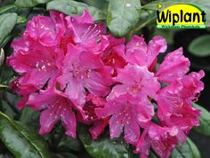 Rhododendron smirnowii-gruppen 'Hellikki', rhododendron. Höjd: 1,2-1,5 m. Zon III.