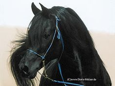 Perhaps more realistically this is my horse someday. Black Egyptian Arabian