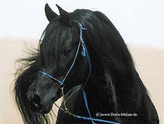 Black Arabian