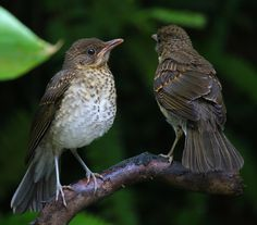 Foto sabiá-poca (Turdus amaurochalinus) por Mathias Singer | Wiki Aves - A Enciclopédia das Aves do Brasil