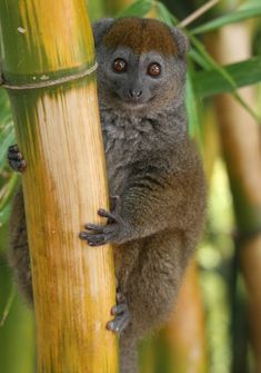 The Bamboo lemur of Madagascar is an endangered species. Here you can see him climbing a large bamboo stalk! #baboonbamboo