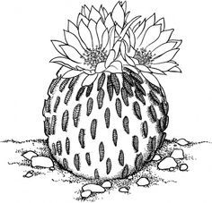 pelecyphora aselliformis or peyotillo cactus coloring page from cactus category select from 30443 printable crafts of cartoons nature animals