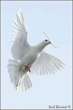 Symbols: The dove is the main symbol for Confirmation. It represents the Holy Spirit. Pretty Birds, Beautiful Birds, Animals Beautiful, Animals And Pets, Cute Animals, Dove Pigeon, White Pigeon, Dove Bird, Saint Esprit
