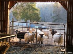 Lambing season is going to start any minute! Ever wonder what a really pregnant sheep looks like? Come see in this 7 photo series. :) — Farmgirl Fare