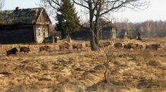Fotografia mostra javalis em uma antiga aldeia perto da central nuclear de Chernobyl