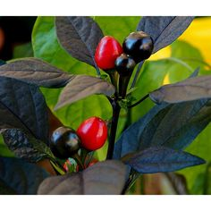 Royal Black Chili Seeds  2,35€   Royal BlackChiliSeeds Price for Package of 10 seeds. Royal Black – one of the most elegant chillies you can grow in your garden, adding a lovely oriental accent to a patio or flowerbed. The plant is tall and bushy, with dark purple foliage that has the occasional leaf tip of white and green. The bullet-shaped pequin pods are both flavoursome