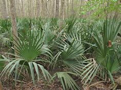 Dwarf Palmetto:  fan-shaped palm is a small shrub, 5-10 ft. tall, occasionally reaching tree size in Texas. Palmetto lends interest and variety to a damp, shaded place. Provide it with plenty of water during establishment; afterwards palmetto is quite hardy through droughts although the tips of the leaves may turn brown. Dwarf palmetto is a good accent plant for moist areas and will tolerate poor drainage. It is the most cold-tolerant Sabal.