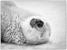 #bear #polar #blackandwhite #olympus