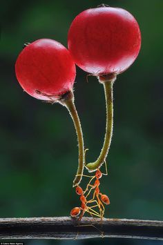 Almost as if part of an elaborate synchronised dance routine, two ants hold up a berry eac...