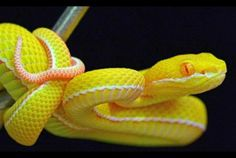 Young albino white lipped viper.