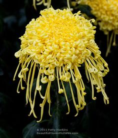 Golden Rain Spider Mum---wow that is spectacular.