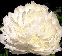 Klehm's Song Sparrow Farm and Nursery--Peonies - Peony Bowl of Cream & Cut Flowers, Spring Flowers, White Flowers, Beautiful Flowers, Song Sparrow, Plant Zones, Peonies Garden, Language Of Flowers, White Peonies