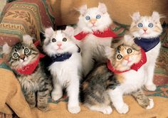 Cutest kittens ever....would love to have one...American Curls